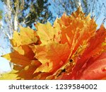 yellow maple leaves and blue...   Shutterstock . vector #1239584002