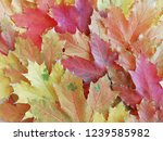 yellow  red  green maple leaves....   Shutterstock . vector #1239585982