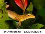close up shot of garden lizard  ... | Shutterstock . vector #1239608215