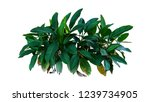 dark green leaves of heliconia... | Shutterstock . vector #1239734905