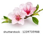 blooming almond flowers on a... | Shutterstock . vector #1239735988