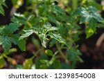 tomato seedlings with water... | Shutterstock . vector #1239854008