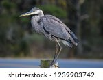 a solitary great blue heron. it ...   Shutterstock . vector #1239903742