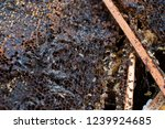 wax moth larvae on an infected... | Shutterstock . vector #1239924685
