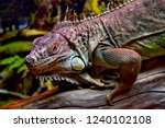 the green  iguana  is a large... | Shutterstock . vector #1240102108
