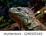 the green  iguana  is a large... | Shutterstock . vector #1240102165