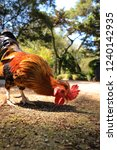 rooster in a field | Shutterstock . vector #1240142935