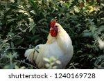 rooster in a field | Shutterstock . vector #1240169728