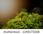 green fresh moss with lateral... | Shutterstock . vector #1240173268