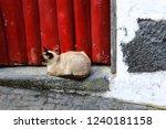 siamese cat lying outside in... | Shutterstock . vector #1240181158