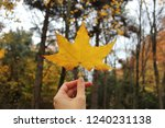 Yellow Maple Tree Leaf In Hand...