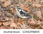 Downy Woodpecker  Dryobates...