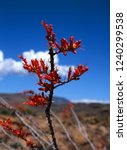 red ocotillo cactus blossoms in ... | Shutterstock . vector #1240299538