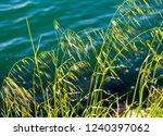 avena fatua a common wild oats... | Shutterstock . vector #1240397062