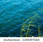 avena fatua a common wild oats... | Shutterstock . vector #1240397065