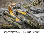 portrait of many crocodiles at... | Shutterstock . vector #1240588408