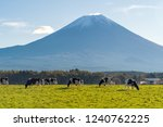 cows eating lush grass on the... | Shutterstock . vector #1240762225