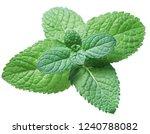 spearmint or mint on white... | Shutterstock . vector #1240788082
