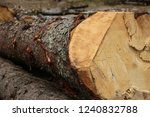 felled pine bark tough brown... | Shutterstock . vector #1240832788