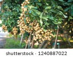 longan orchards   tropical... | Shutterstock . vector #1240887022