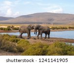 elephants at aquila private...   Shutterstock . vector #1241141905