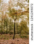 beech forest in fall colors  ... | Shutterstock . vector #1241245072