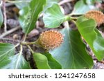 closeup photograph of an unripe ... | Shutterstock . vector #1241247658