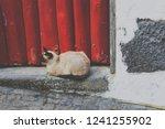 siamese cat lying outside in... | Shutterstock . vector #1241255902