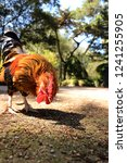 rooster in a field | Shutterstock . vector #1241255905