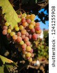 grapes in a vineyard | Shutterstock . vector #1241255908