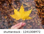 Yellow Maple Leaf In Hand On...