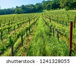 vineyards landscape in... | Shutterstock . vector #1241328055