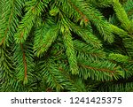 background of pine branches.... | Shutterstock . vector #1241425375