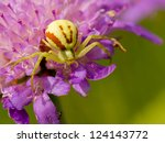 Goldenrod Crab Spider Sitting...