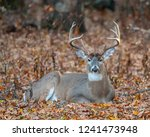 A Large White Tailed Deer...