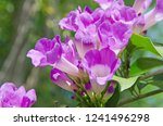 beautiful garlic vine flowers... | Shutterstock . vector #1241496298