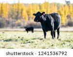 Black Angus Cattle In A Pastur...