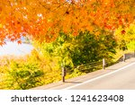 beautiful red and green maple... | Shutterstock . vector #1241623408