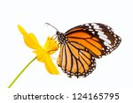 Stock photo monarch butterfly seeking nectar on a flower on white background using path 124165795