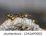 Wasps Build A Nest. Closeup Of...