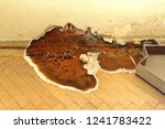 Fruiting Body Of Dry Rot...