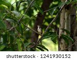 a songbird with brown crown  ... | Shutterstock . vector #1241930152