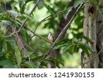 a songbird with brown crown  ... | Shutterstock . vector #1241930155