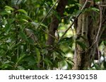 a songbird with brown crown  ... | Shutterstock . vector #1241930158