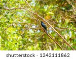 pair of greater racket tailed... | Shutterstock . vector #1242111862
