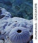 sea   urchin close up | Shutterstock . vector #1242164398