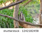 lemur catta in the natural zoo | Shutterstock . vector #1242182458