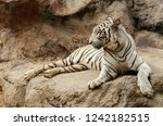 white bengal tiger resting on... | Shutterstock . vector #1242182515