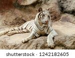 white bengal tiger resting on... | Shutterstock . vector #1242182605