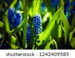 beautiful blue starch grape...   Shutterstock . vector #1242409585